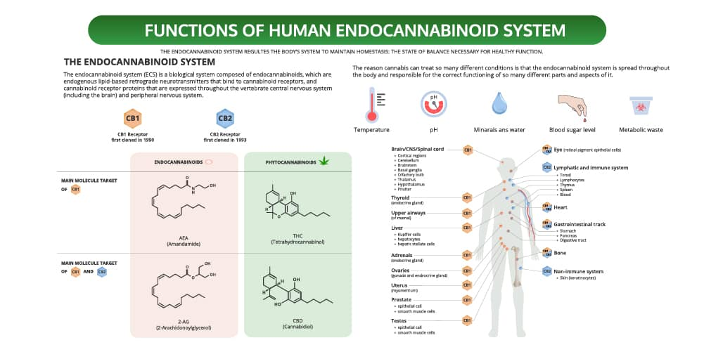 a diagram explaining how the endocannabinoid system works