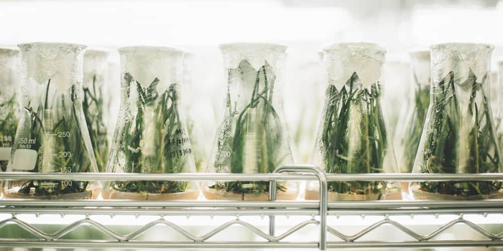 flasks with plants in them in a lab