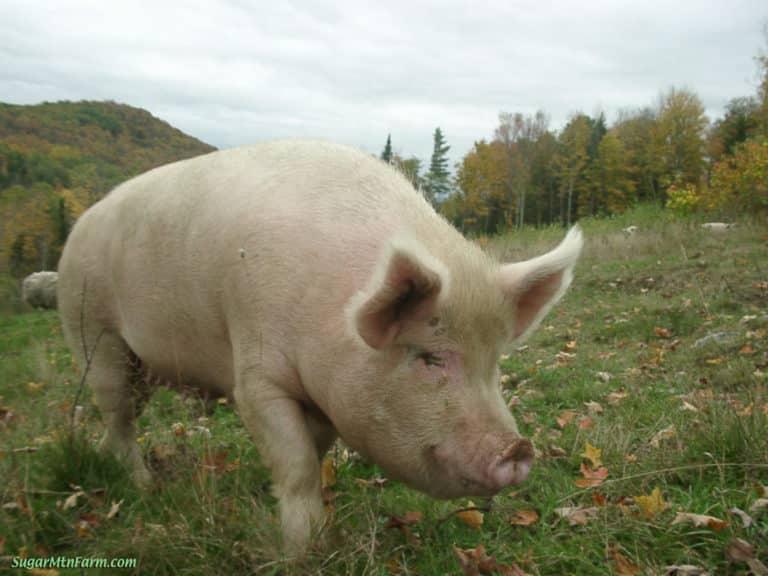 Pig walking on grass